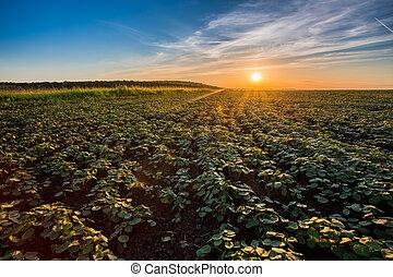 coucher soleil, sur, agricole, vert, field.