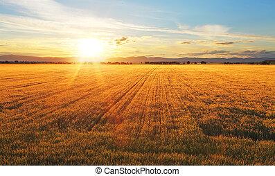 coucher soleil, sur, blé, field.