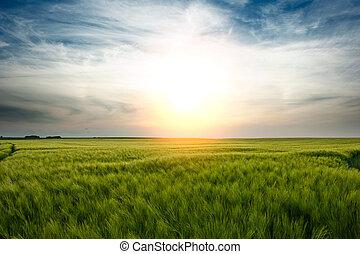 coucher soleil, sur, champ blé