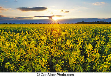 coucher soleil, sur, rapeseed, champ