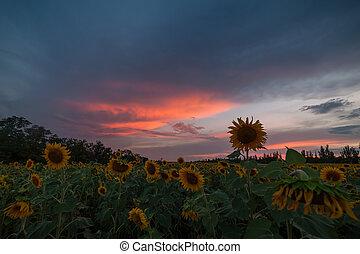 coucher soleil, sur, tournesols, champ