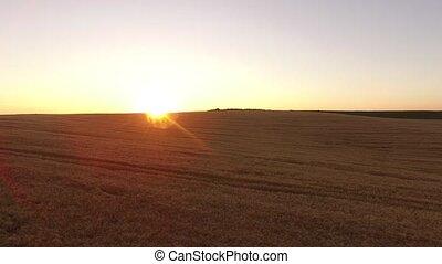 coucher soleil, sur, ultra, vol, hd, champ, blé, aerial:, 4k