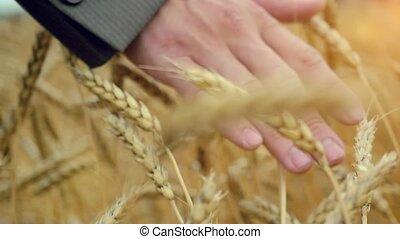 coucher soleil, toucher, homme affaires, par, marche, slowmotion., 1920x1080, oreille, doré, champ, blé, mûrir