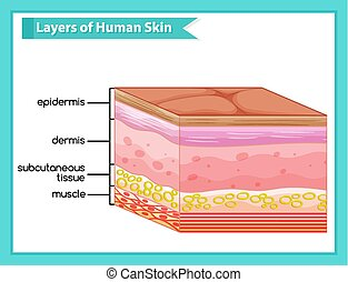 couches, scientifique, illustration médicale, peau humaine
