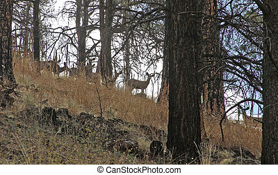 Coues White-tailed Deer Greer, AZ - Coues White-tailed Deer...
