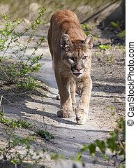 Cougar - A puma or cougar (Puma concolor) is coming
