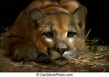 Cougar - cougar staring, low key