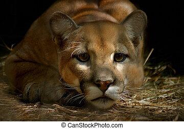 cougar staring, low key