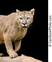 Cougar is on a branch against a dark background
