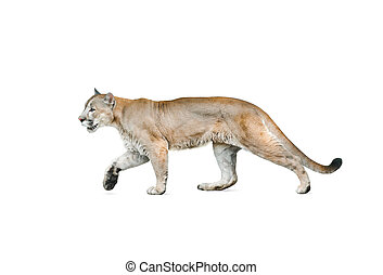 cougar isolated over a white background - cougar male...