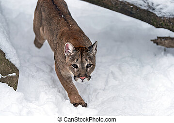 Cougar, mountain lion