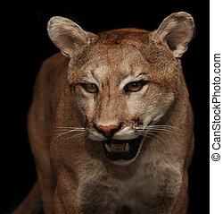 cougar - North American mountain lion shot with flash at ...