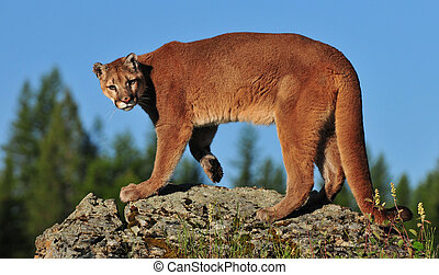 Cougar on a cliff