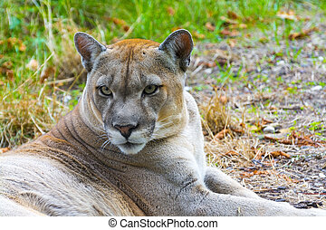Cougar (Puma concolor) - Cougar or Puma (Puma concolor) ...