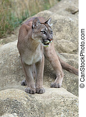 Cougar (Puma concolor) - Cougar standing poised on large ...