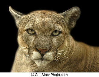 Cougar Stare - Cougar portrait staring