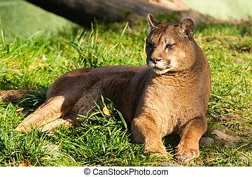 cougar - Beautyfull female fierce cougar laying in grass