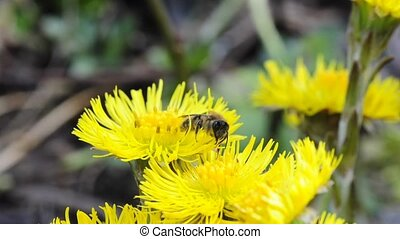 the medicinal plant ough-wort blooming