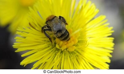 the medicinal plant ough-wort blooming with a bee