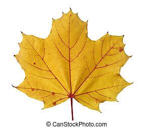 couleur, feuille, érable, jaune, automne