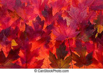 couleur, feuilles, arrière-plan rouge, automne, érable