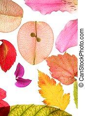 couleur, isolé, pétales, feuilles, fleurs, fond, blanc