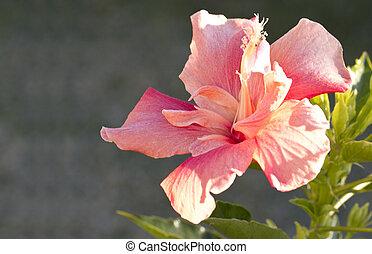 couleur, rose, hibiscus