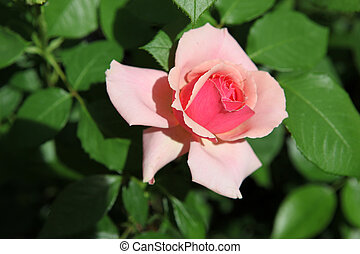 couleur, roses, image, -