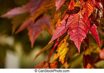 couleurs, feuilles, érable, automne