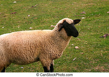 Count Me In - This is a picture of a black faced sheep in a ...