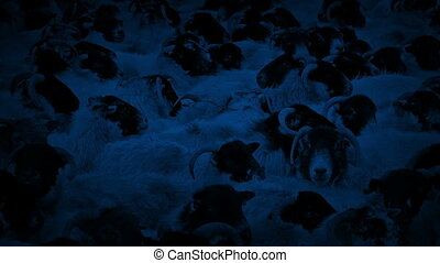 Countless Sheep Crammed Together At Night - Sheep crammed...