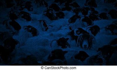Countless Sheep Crammed Together At Night - Sheep crammed...