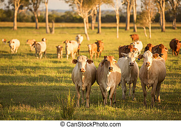 Country Cows - Cows in the paddock during the day in...
