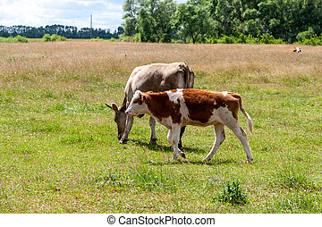 Country cows with calves.