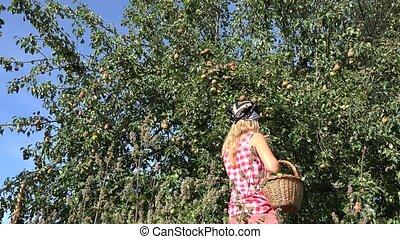 Country girl harvest ripe pear fruits to wicker basket in fruiter farm.  4K