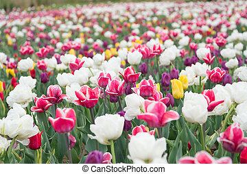 country of tulip. beauty of blooming field. famous tulips festival. Nature Background. group of colorful holiday tulip flowerbed. Blossoming tulip fields. spring landscape park. Only organic
