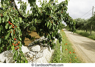 Country road and cherries growing.