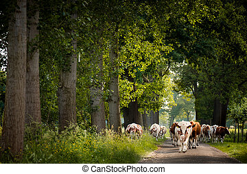 country road with dutch cows