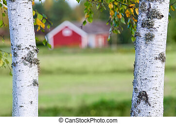 Country scenery with birch trunks