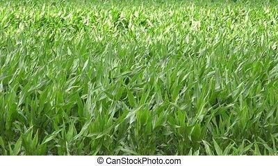 country tractor fertilize corn field farm at summer season....