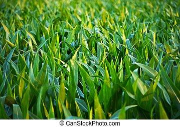 Countryside Corn Fields Closeup. Corn Field in Illinois,...