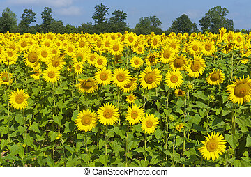 Countryside in Tuscany (Italy) near Siena at summer: fields of sunflowers