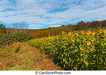 Countryside with sunflowers field in autumn, Virginia, USA.