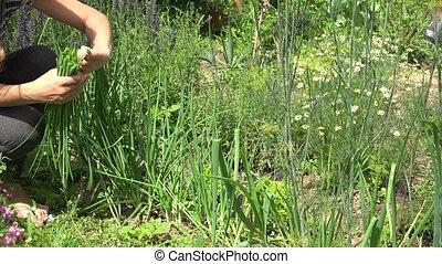 countrywoman pick fresh onion in village garden at summer 4K...