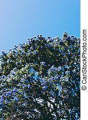"""coup, bleu, pacifique, fleurs, arbre, entiers, """"ceanothus"""", fleur"""