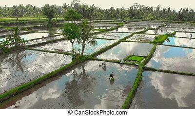 coup, groupe, concept, champ riz, grand, rempli, water., ...