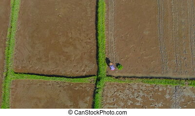coup, groupe, riz, concept, grand, field., aérien, bali, ...