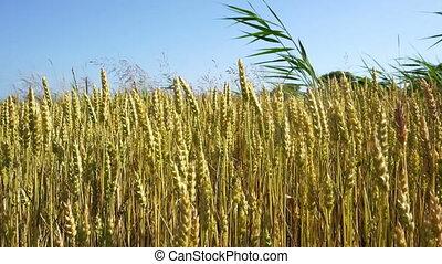 coup, large, champ blé