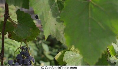 coup, mûre, harvest., automne, vignobles, coucher soleil, raisins, automne, season., moule