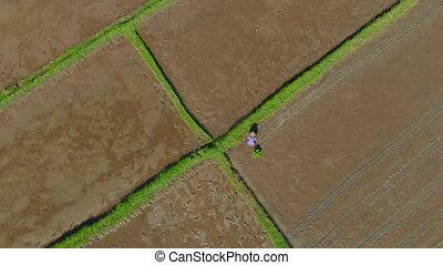 coup, riz, agriculteurs, voyage, bali, planter, field., ...